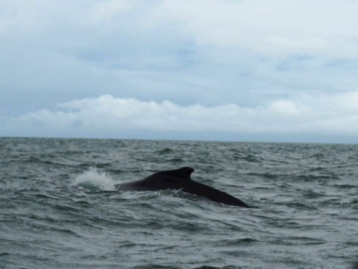 frontier-free-drifting-humpback-whale