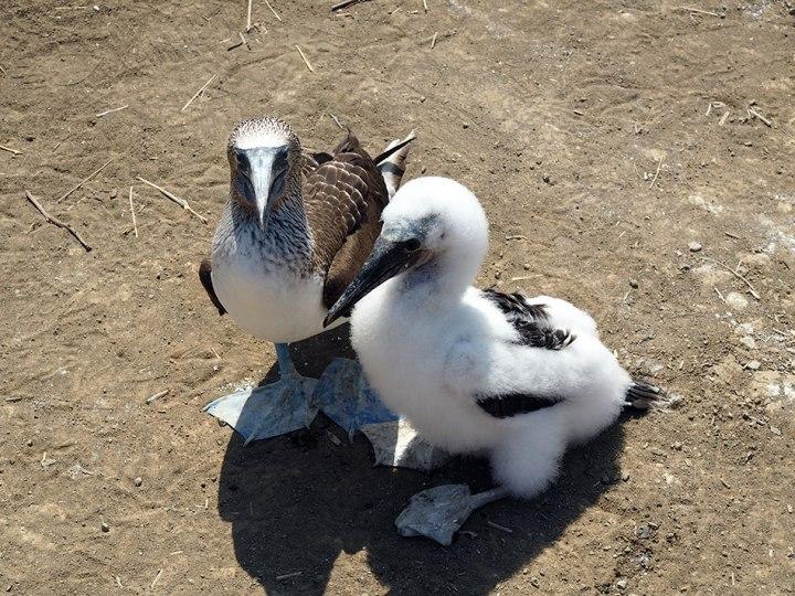 frontier-free-drifting-isla-de-la-plata-blue-footed-boobies