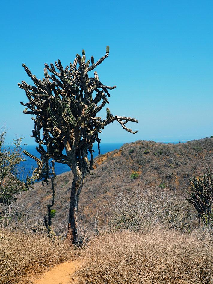frontier-free-drifting-isla-de-la-plata-cactus-tree