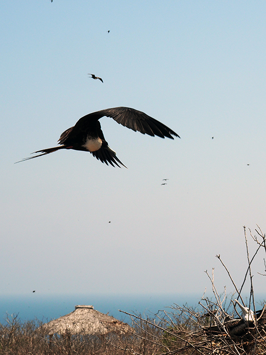 frontier-free-drifting-isla-de-la-plata-frigate-bird-and-young