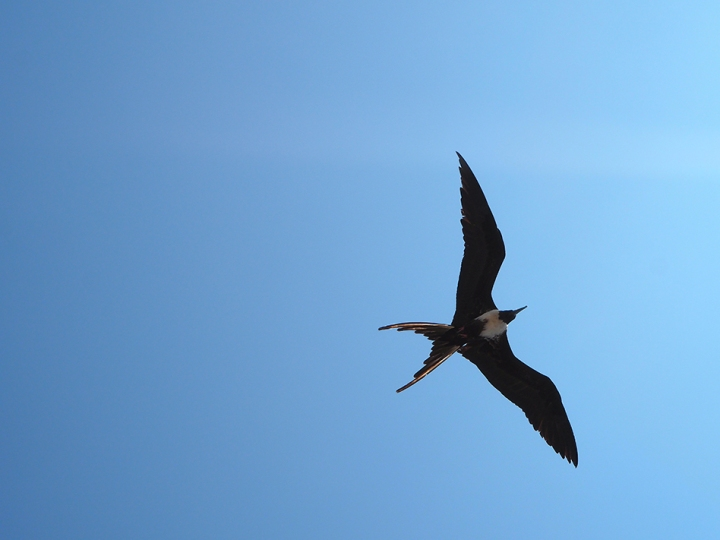 frontier-free-drifting-isla-de-la-plata-frigate-bird-in-flight