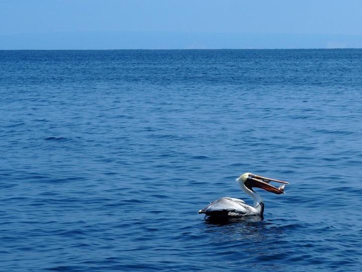 frontier-free-drifting-isla-de-la-plata-pelican