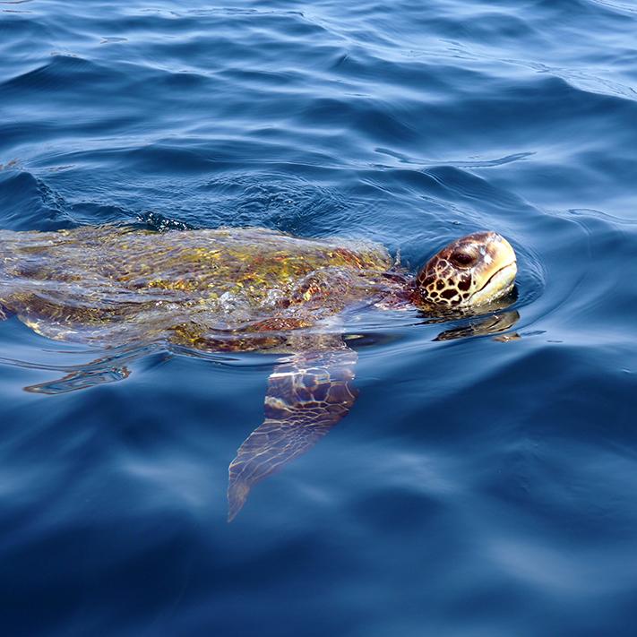 frontier-free-drifting-isla-de-la-plata-sea-turtle