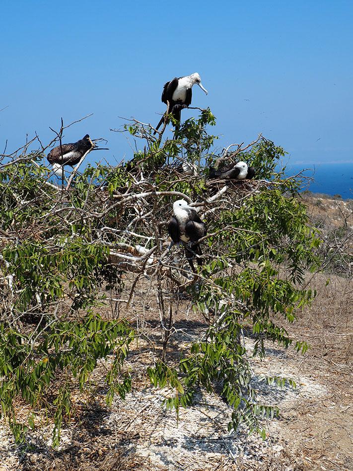 frontier-free-drifting-isla-de-la-plata-young-frigates-in-tree