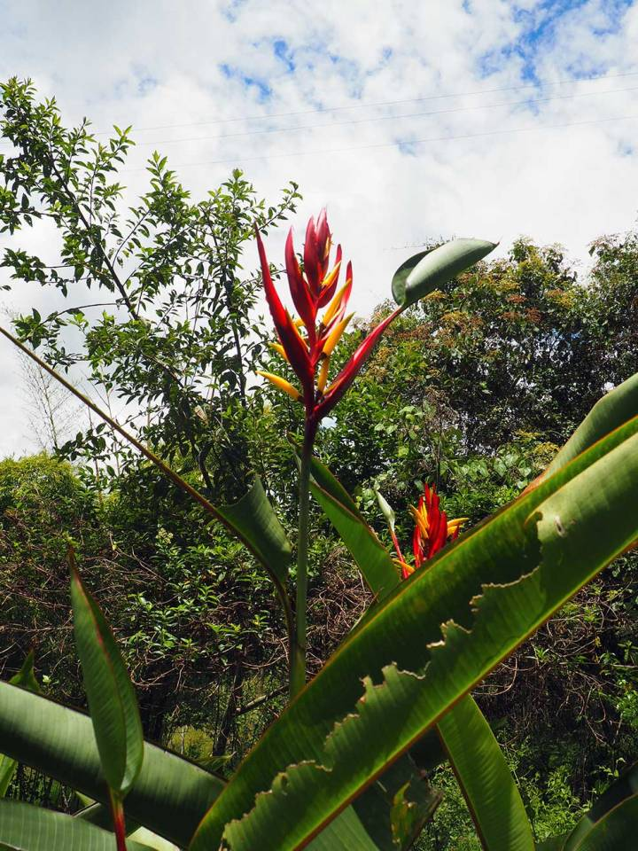 frontier-free-drifting-san-agustin-paradise-flower