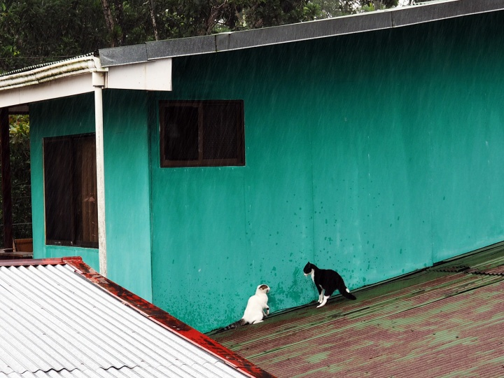 Frontier-Free-Drifting-Cahuita-Cats-Fighting-in-the-Rain