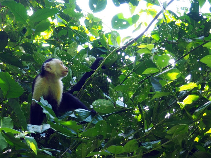 Frontier-Free-Drifting-Cahuita-Monkey-in-the-Trees